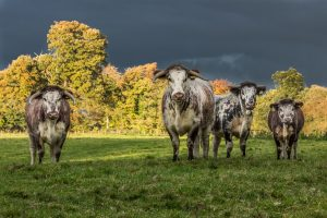 Longhorns in a stormy sky